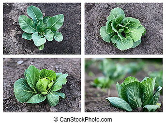 cabbage growing, collection