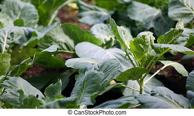 Cabbage growing in the garden.