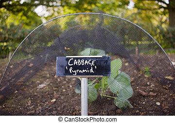 Cabbage Growing In Vegetable Garden