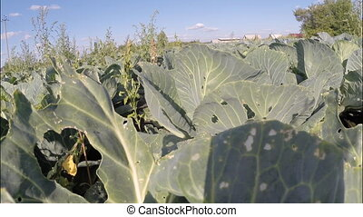 Cabbage growing on a large garden