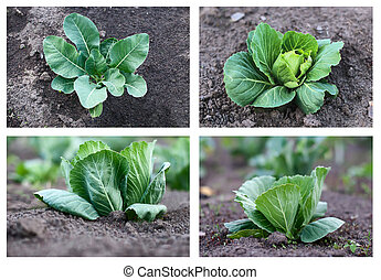 cabbage growing,collection