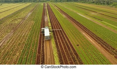 Cabbage harvesting by tractor. Field with rows of salad. -...