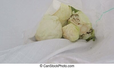 Cabbage heads fall into the bag. Cabbage harvest
