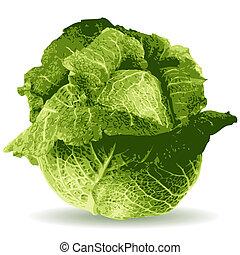 cabbage illustration isolated on white background