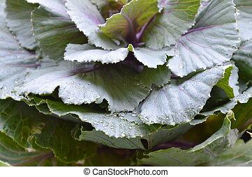 cabbage in backyard garden