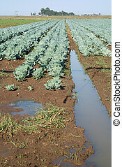Cabbage in irrigated field
