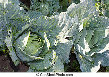 Cabbage in the garden with drops of water