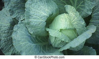 Cabbage In The Garden