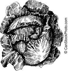 cabbage., kool, vellen, hoofd, helft