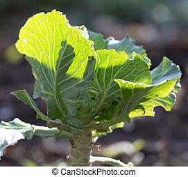 cabbage leaves in the garden