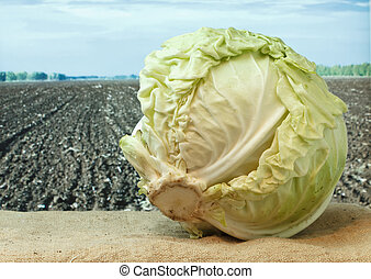 cabbage on the background of agricultural lands