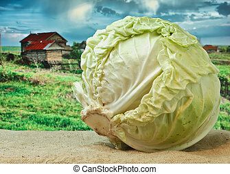 cabbage on the background of rural areas