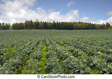 Cabbage Patch in Oregon