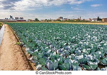 Cabbage plantation against the city