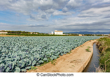 Cabbage plantation and irrigation canal