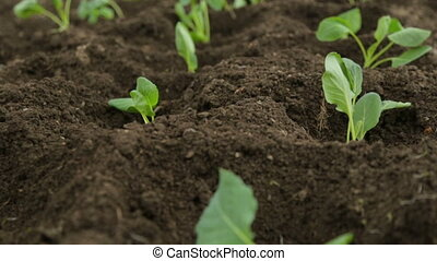 Cabbage saplings in garden fresh beds