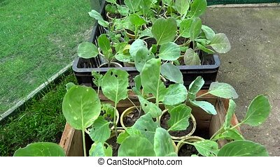 cabbage seedlings in plastic contai