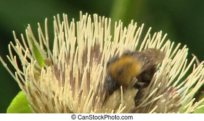 Cabbage thistle bee - close up - Cabbage thistle, Cirsium...