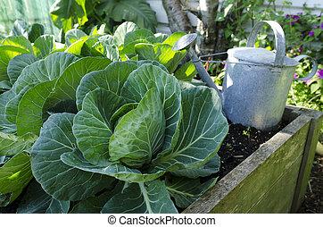 Cabbage grow in home vegetable garden.