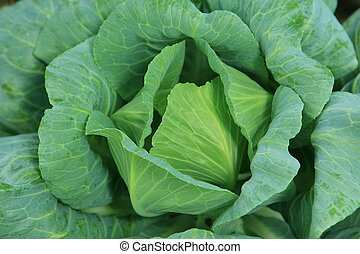 Cabbage vegetable