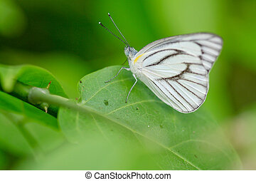 cabbage white butterfly, meadow