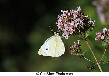 Cabbage White Butterfly