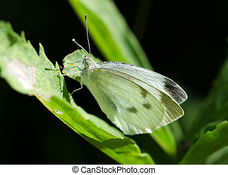 Cabbage White Butterfly.