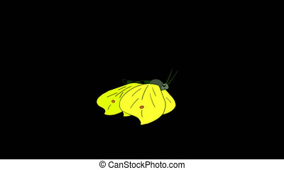Cabbage Yellow butterfly flies alpha looped