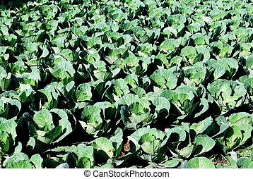 Cabbages growing in a field, Torre del Mar.