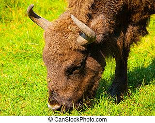 cabeça, bisonte, europeu