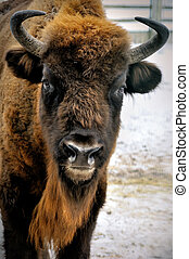 cabeça, bisonte, inverno, europeu