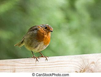 cabeça, cerca, inclinado, robin
