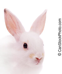 cabeça, coelho branco