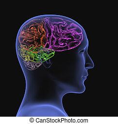 cabeça, -, pessoa, transparente, raio x, 3d