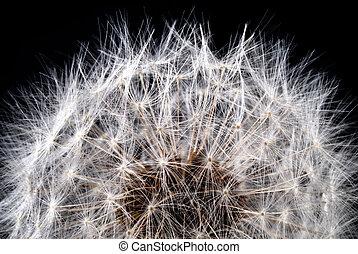cabeça, semente, dandelion