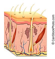 cabelo humano, estrutura, anatomia, illustration., vetorial