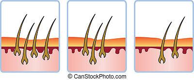 cabelo, regrowth, ciclo
