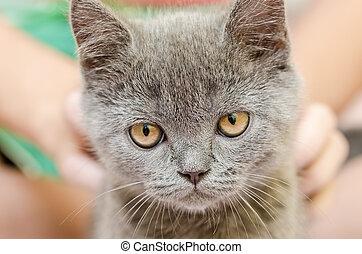 cabelo, shortinho, britânico, gato