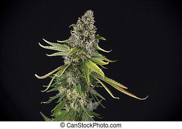 cabelos, strain), marijuana, tarde, cannabis, fenda, (green, florescendo, fase, folhas, cola