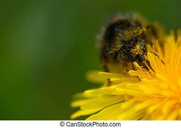 cabeludo, pólen, flor, dandelion, bumblebee, comum