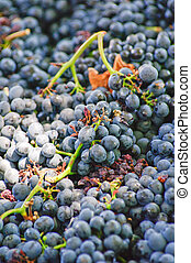 Freshly harvested cabernet grapes are collected at a Winery Stellenbosch South Africa