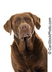 cabeza, chocolate, perro, labrador