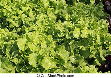 cabeza de la mantequilla, vegetal, en, hydroponic, granja