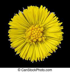 cabeza flor, coltsfoot