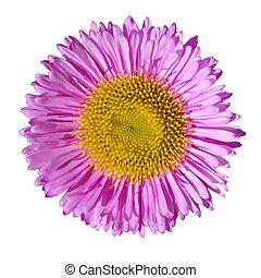 cabeza, flor, púrpura, inglés, aislado, margarita, blanco