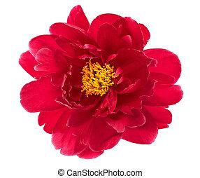 cabeza, flor, peonía, aislado, solo, rojo blanco