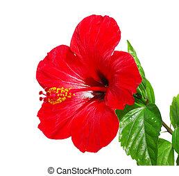 cabeza flor, rojo, hibisco