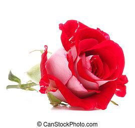 cabeza, flor, rosa, aislado, plano de fondo, blanco, recorte, rojo