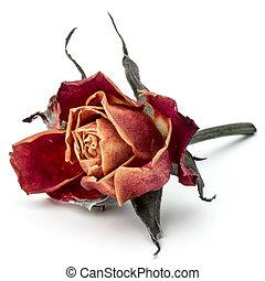 cabeza, flor, rosa, aislado, secado, plano de fondo, blanco, recorte