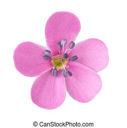 cabeza, flor, soapwort